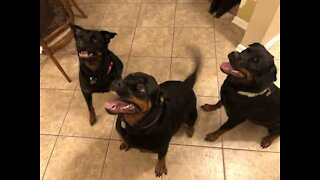 Rottweilers reunite with owner after 3 months apart