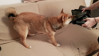 Yuki the Thief Shiba Inu Puppy  - Video