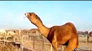 See what the camel does
