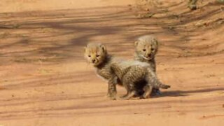 Adorable baby cheetahs that will make your heart melt
