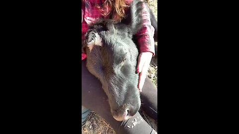 Rescued cow snuggling with her caretaker
