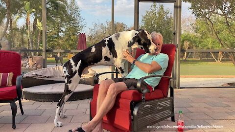 Funny Affectionate Great Dane Can't Hold His Licker