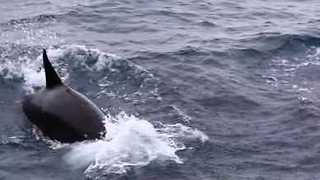 Orcas Hunt Baby Whales in Western Australia - Video