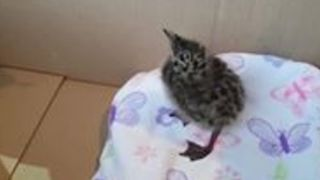 Tiny Seagull Chick Goes Nuts For Fishy Feast