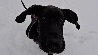 Great Dane puppy saves man from the doghouse on Valentine's Day