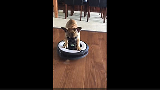 French Bulldog puppy's thrilling ride on robot vacuum
