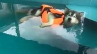 Lazy dog enjoys himself in the pool - Video
