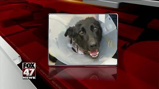 Michigan police dog recovering from stabbing - Video