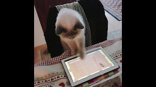 Cat catching mouse while playing tablet game