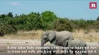 How baby elephants drink water | Rare Animals - Video