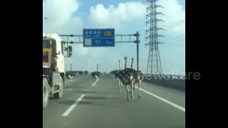 Runaway ostriches romp down Chinese motorway - Video