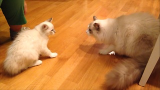 Kitten arrives at new home, meets resident cat - Video