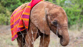 Orphan Elephant Calf Survives Predator Attack: WILDEST ANIMAL RESCUES - Video