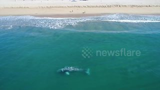 Amazing moment gray whale rolls around incredibly close to California beach