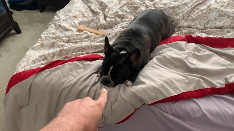 Disobedient French Bulldog