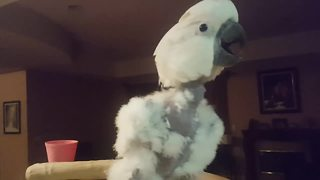 Cockatoo With A Sweet Tooth Feasts On Donut And Throws Temper Tantrum At Owner
