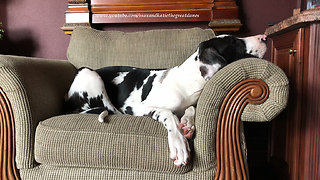 Five Month Old Great Dane Puppy Enjoys a Cat Nap  - Video