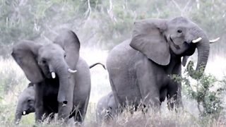 Frightened elephants flee in a hurry from buzzing bees disturbing graze - Video