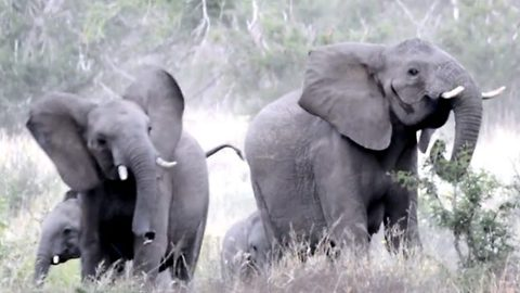 Frightened elephants flee in a hurry from buzzing bees disturbing graze