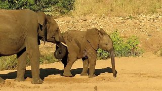 Young elephant pranks older brother by stealing from his watering hole - Video
