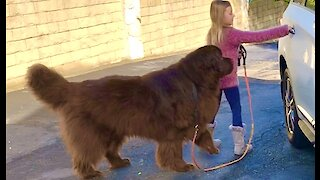 Huge Newfoundland is absolutely ecstatic for a car ride