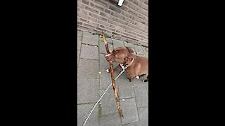 Pit Bull carries big stick during her walk