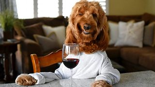 Hilarious dog lives life as human who loves nothing more than an evening tipple - Video