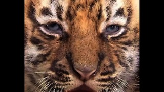 Four Bengal Tiger Cubs - Video