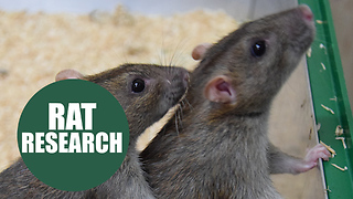 Study finds rats help each other out just like human - Video