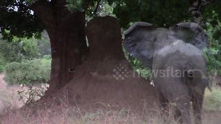 Elephant charges at leopard in territory row in Zimbabwe - Video