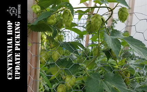 End of the year centennial hop picking