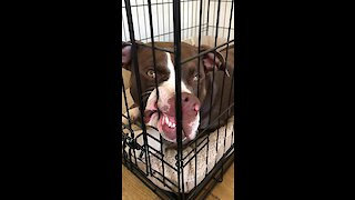 Pit Bull not thrilled about his new crate training