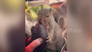 Meet the pampered pet squirrel who watches TV, wears face masks and loves avocados - Video