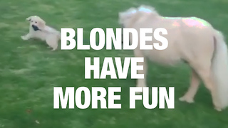 Golden Retriever: The World's Most Excitable Dog - Video