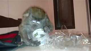 Monkey Struggles to Figure Out How Sticky Tape Works - Video