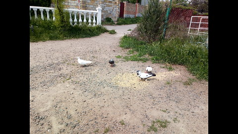 Rare pigeons in the suburbs
