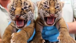Roarsome! Adorable images of two critically endangered tiger cubs born at zoo - Video