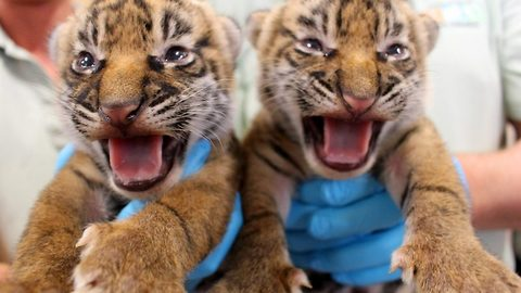 Roarsome! Adorable images of two critically endangered tiger cubs born at zoo