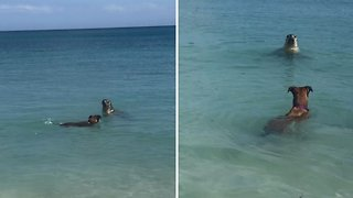 Seal-iest Friendship Ever! Adorable Footage Shows Sea Lion And Dog Swimming Together On Australian Beach