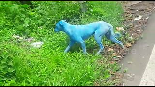 Pollution turns stray dogs blue in India