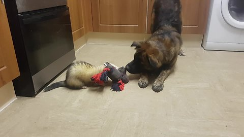 Determined ferret beats big dog in game of tug-of-war