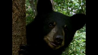 Bears Climb Trees - Video