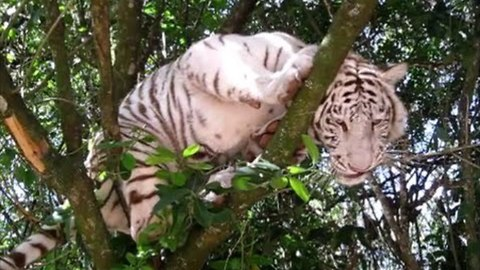 White Tiger Perches on Tree Branch