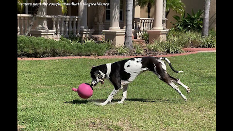 Galloping Great Dane Loves Playing With His Jolly Ball Horse Toy