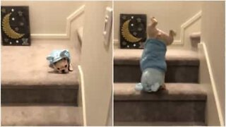 French bulldog puppy does handstands going down the stairs