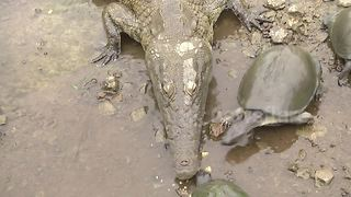 Brave terrapin steals food from crocodile