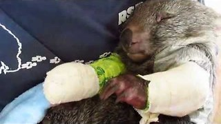 Injured Wombat Recovers After Treatment at Sanctuary - Video