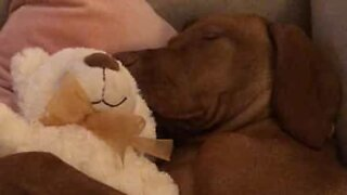 Puppy cuddles teddy bear while sleeping