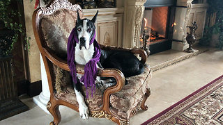 Well Dressed Great Dane Sits Beside the Fire  - Video