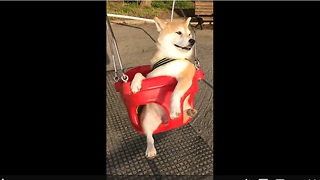 Dog in Japan enjoys swing at park - Video